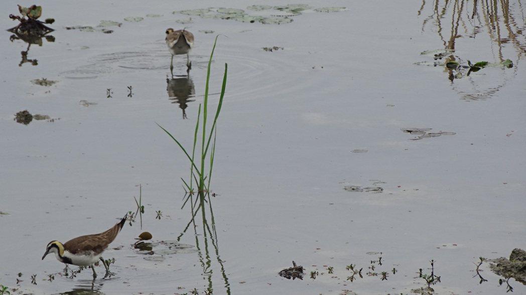 台南水雉生態教育園區死亡小水鴨確認感染H5N6,防疫拉緊報。記者吳淑玲/攝影