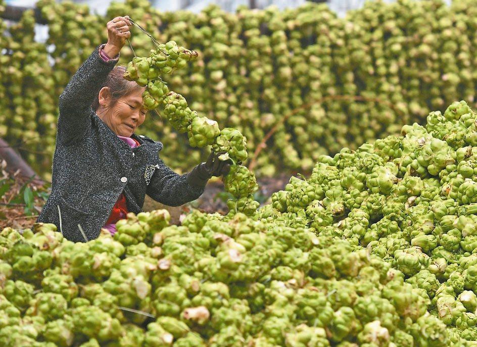 青菜頭鮮銷或者加工成榨菜,成了涪陵的名產。 新華社