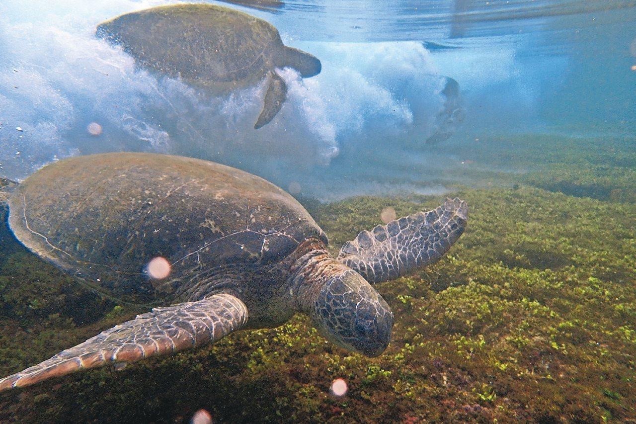在小琉球有機會看見海龜衝浪的自然奇景。 圖/李旭提供