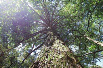 觀霧森林遊樂區的香杉神木。 圖/作者自攝