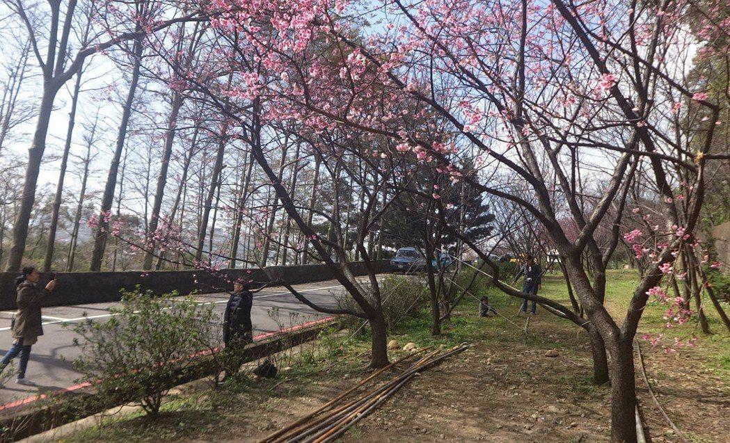 桃園市龜山區壽山巖觀音寺後山公園栽種的櫻花延後開花,花團錦簇盛開,十分美麗,吸引...