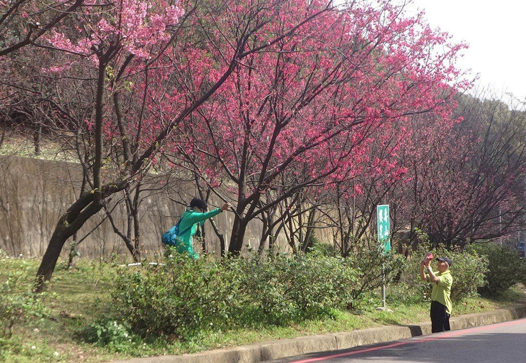 桃園市龜山區壽山巖觀音寺公園栽種的櫻花延後開花,花團錦簇盛開,十分美麗,吸引民眾...