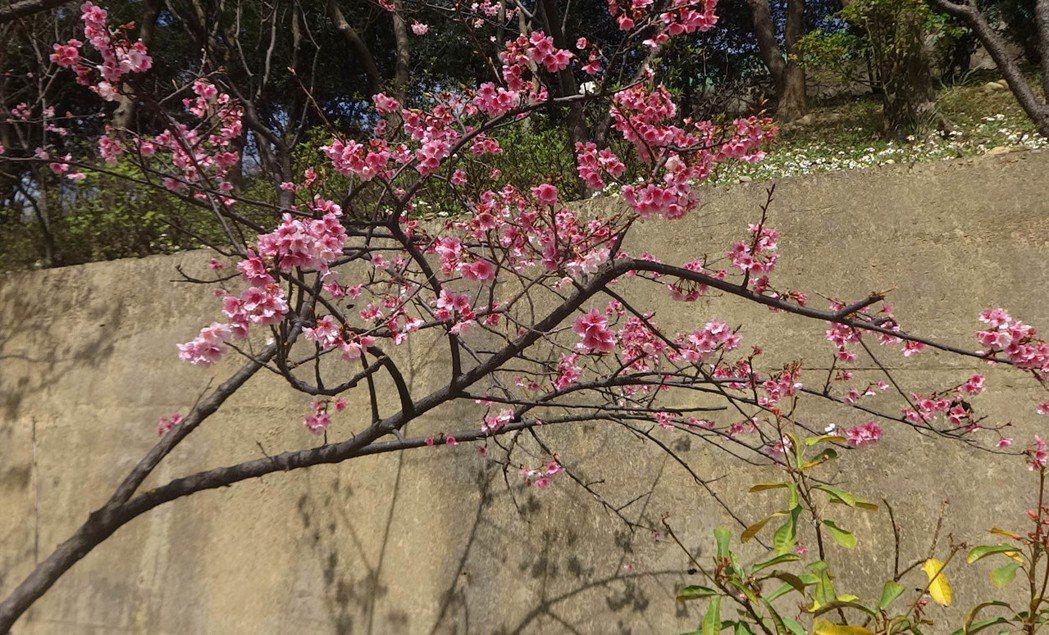 桃園市龜山區壽山巖觀音寺公園栽種的櫻花延後開花,花團錦簇盛開,十分美麗。記者曾增...