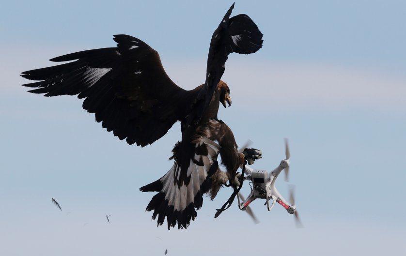 老鷹在法國軍事基地攔截空拍機。圖/路透社