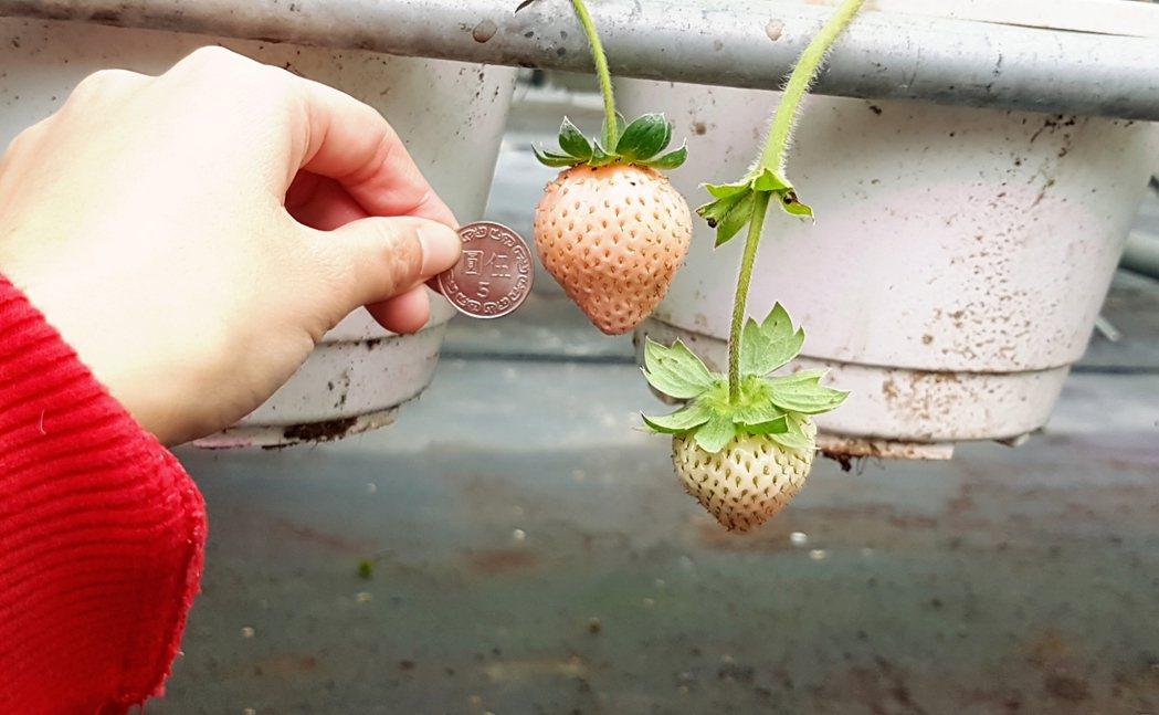 白草莓的體積幾乎是5元硬幣的兩倍。記者吳佩旻/攝影