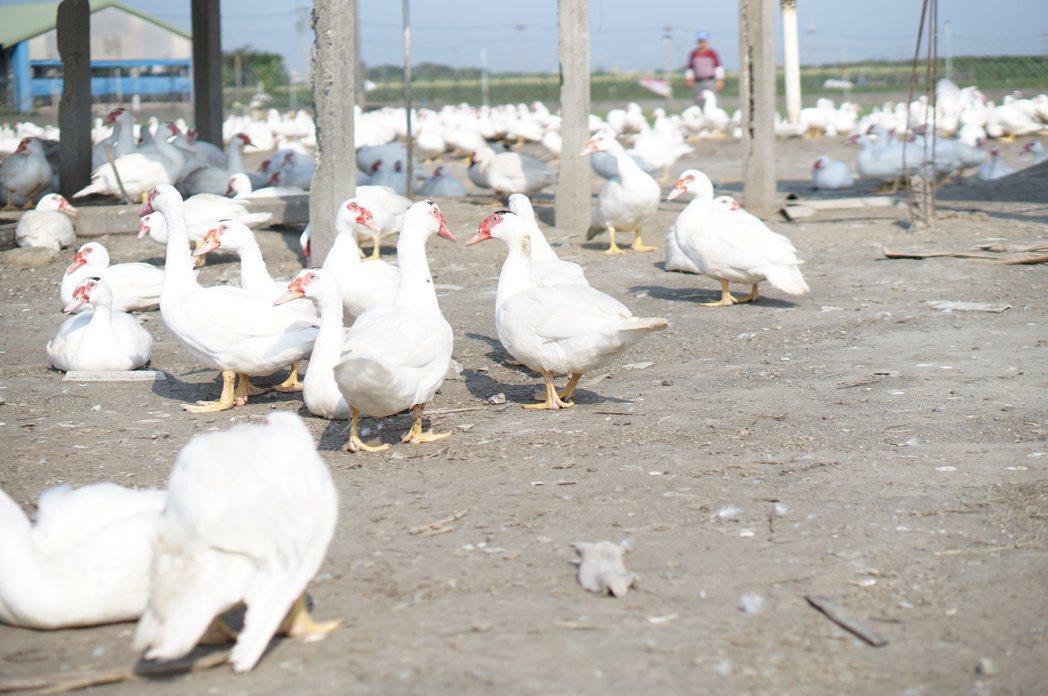 國內家禽禁宰禁運令解除,但農委會對鴨場管制超嚴格,雲林鴨農紛紛發出不平之鳴。記者...