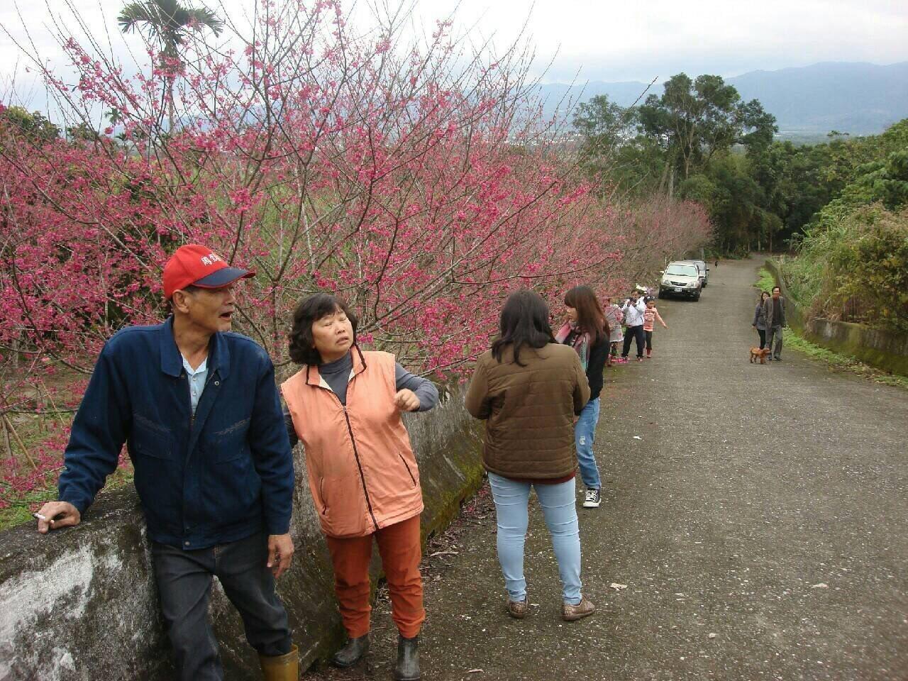 花蓮壽豐樹湖社區開滿櫻花,吸引遊客拍照留念。圖/樹湖愛鄉協進會提供