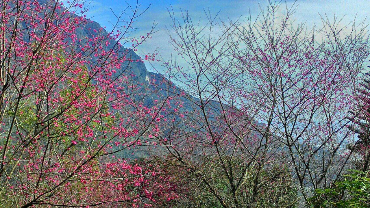花蓮壽豐樹湖社區開滿櫻花,景色優美,彷彿到了國外。圖/樹湖愛鄉協進會提供