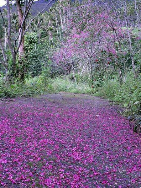 花蓮樹湖櫻花盛開,還有美麗的「櫻花步道」。圖/樹湖愛鄉協進會提供