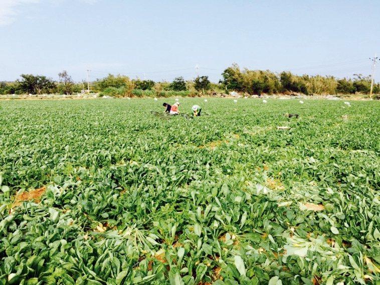 整片蘿蔔田。 圖/張源銘、晨捷農場提供