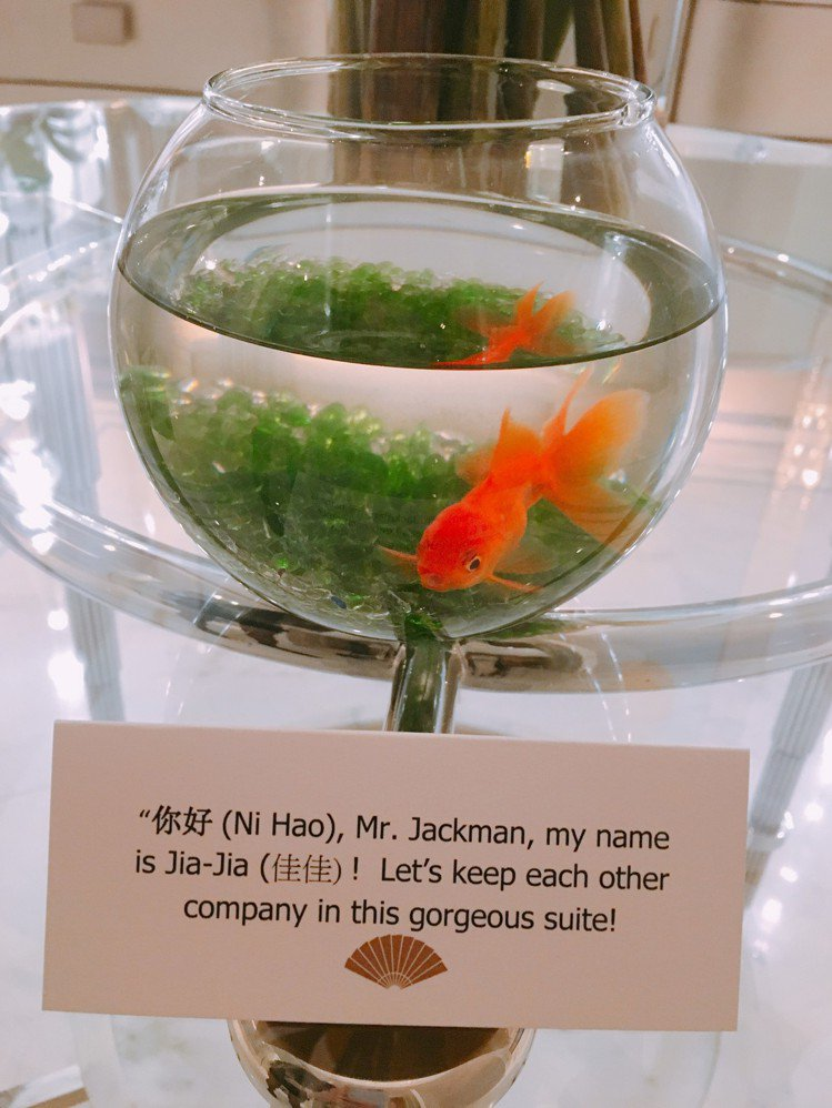 休傑克曼總統套房安排療癒金魚。圖/台北文華東方酒店提供