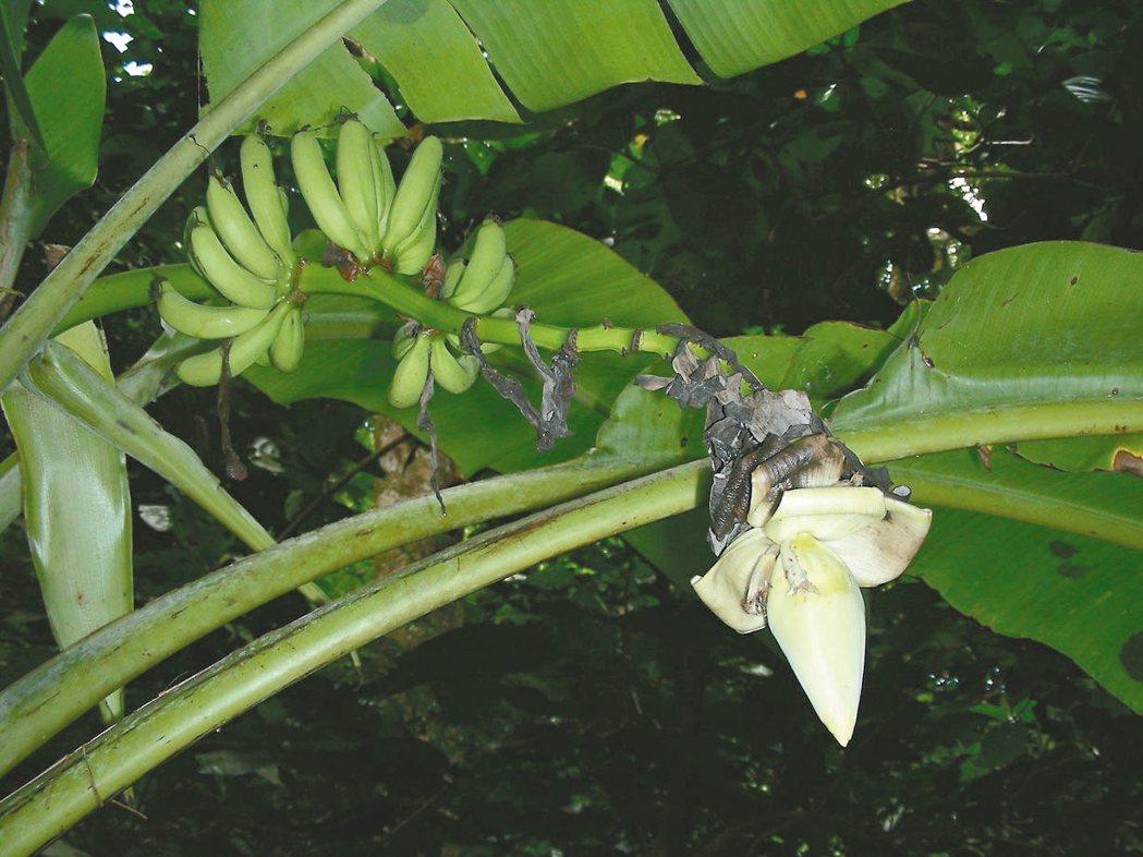 「百種興盛行動」收到雅美芭蕉種子,原已野外滅絕的物種再現一線生機。 香蕉研究所/...