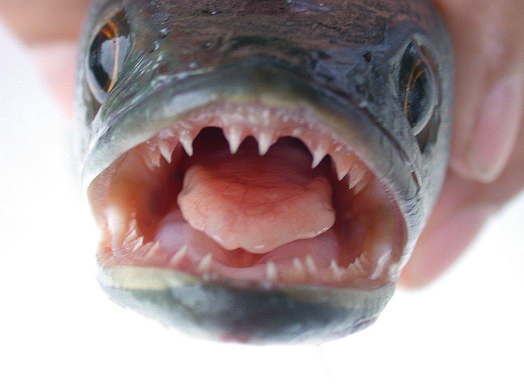 凶猛外來種「魚虎」近月在日月潭過量繁殖。 圖/嘉義大學水生生物學系教授賴弘智提供