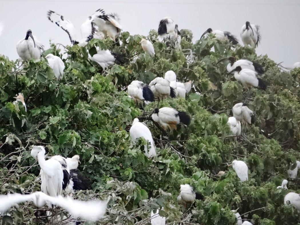 台中區農業改良場的灌溉用蓄水池有一道防風林,最近常上演「新住民」埃及聖鹮(黑頭長...