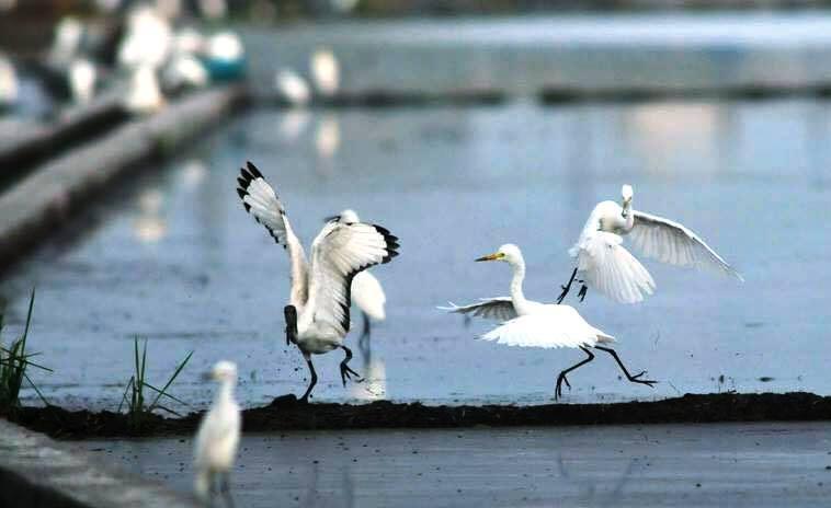 又到春耕時,彰化縣許多鄉鎮的農田常見埃及聖鹮(翅膀邊緣黑色羽毛)與小白鷺爭相覓食...
