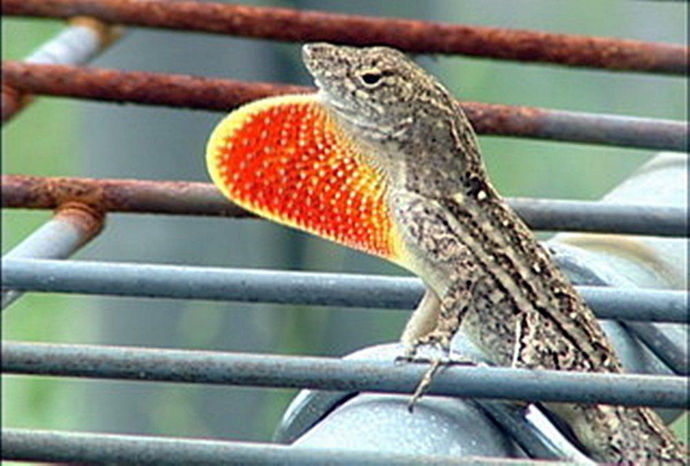 沙氏變色蜥「蜥滿為患」,嘉義縣環保局下達通緝令。 圖/嘉義縣環保局提供