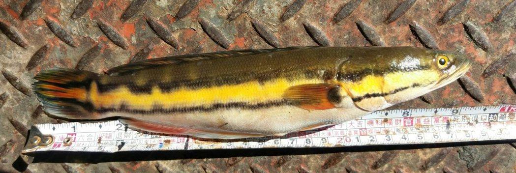日月潭漁民指出,凶猛外來種「魚虎」近月在日月潭過量繁殖,恐衝擊生態。 (中央社)