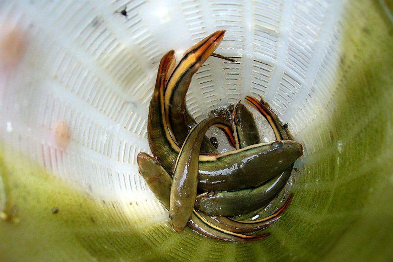 魚虎之所以容易成為入侵物種,是因其幼魚尺寸往往介於5到15公分的,體色鮮豔、價格...