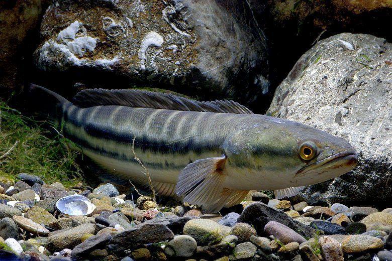 由於台灣多數低海拔淡水區域已經完全被人類的開發行為所干擾,沒有任何原生物種可與魚...