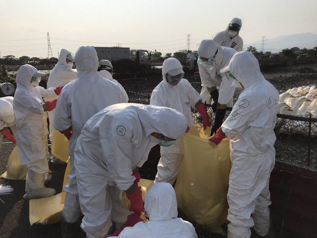 宜蘭縣三星鄉又有一處櫻桃鴨場傳出禽流感H5N2確診,今早撲殺約5000隻肉鴨。圖...