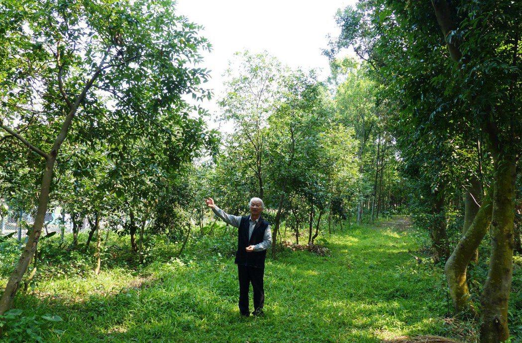 詩人吳晟表示,左邊的台灣土肉桂成長較慢,較矮小,不像右側的陰香那麼高大、侵略性強...