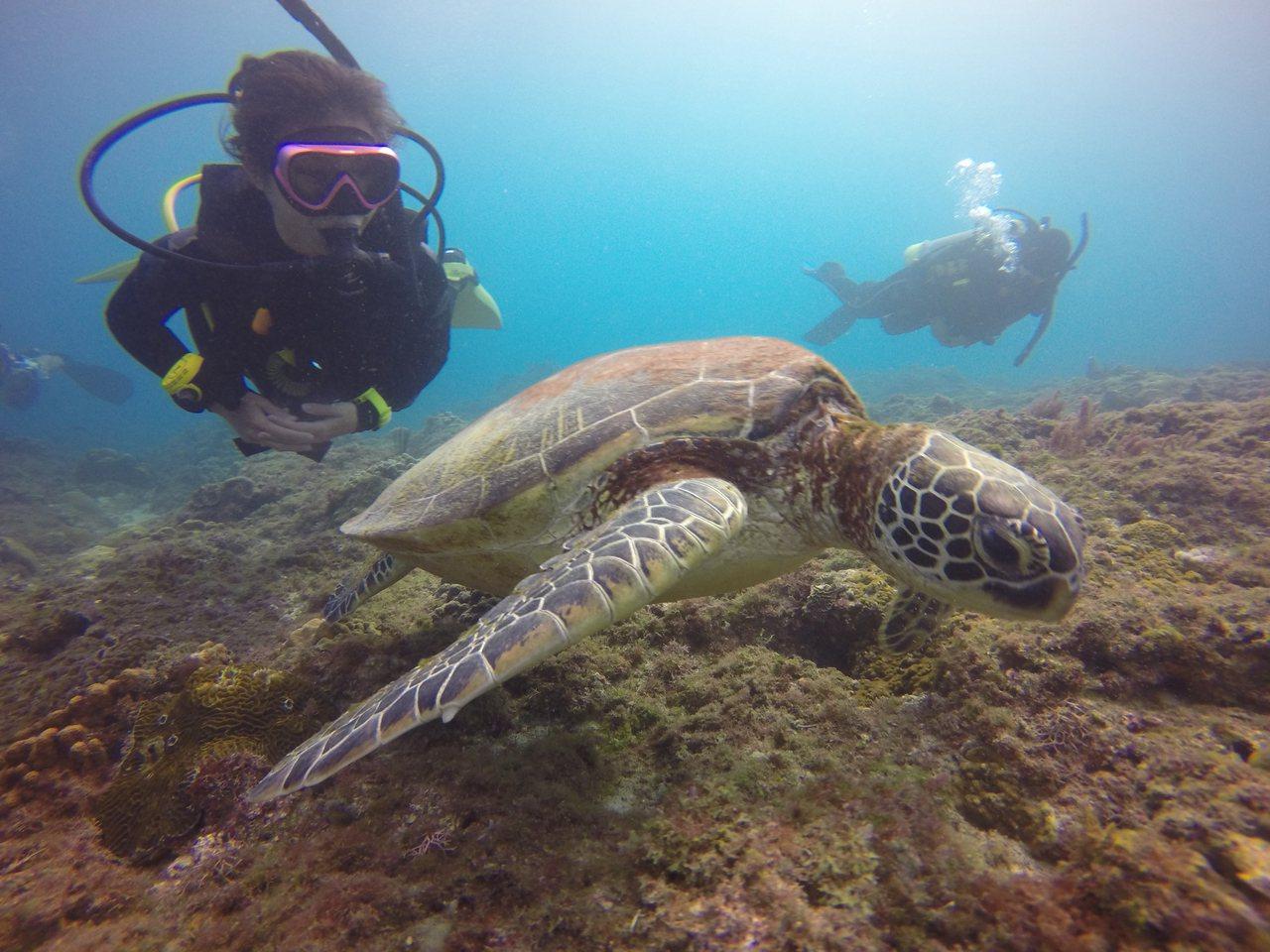 體驗潛水看綠蠵龜近年爆紅,小琉球更成為觀光熱點,潛水教練蘇淮說,觀賞綠蠵龜有5個...
