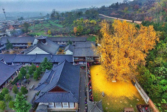 位於中國終南山古觀音寺後的銀杏樹,目前已 1400 歲,金黃的落葉灑滿地,形成一...
