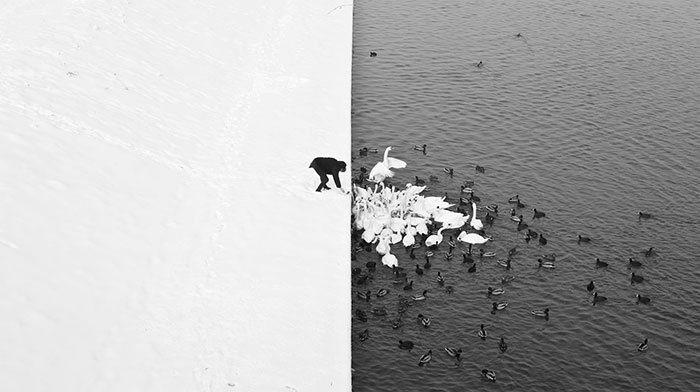 波蘭攝影師Marcin Ryczek在克拉科夫拍下了這群天鵝和鴨子,獲得許多獎項...