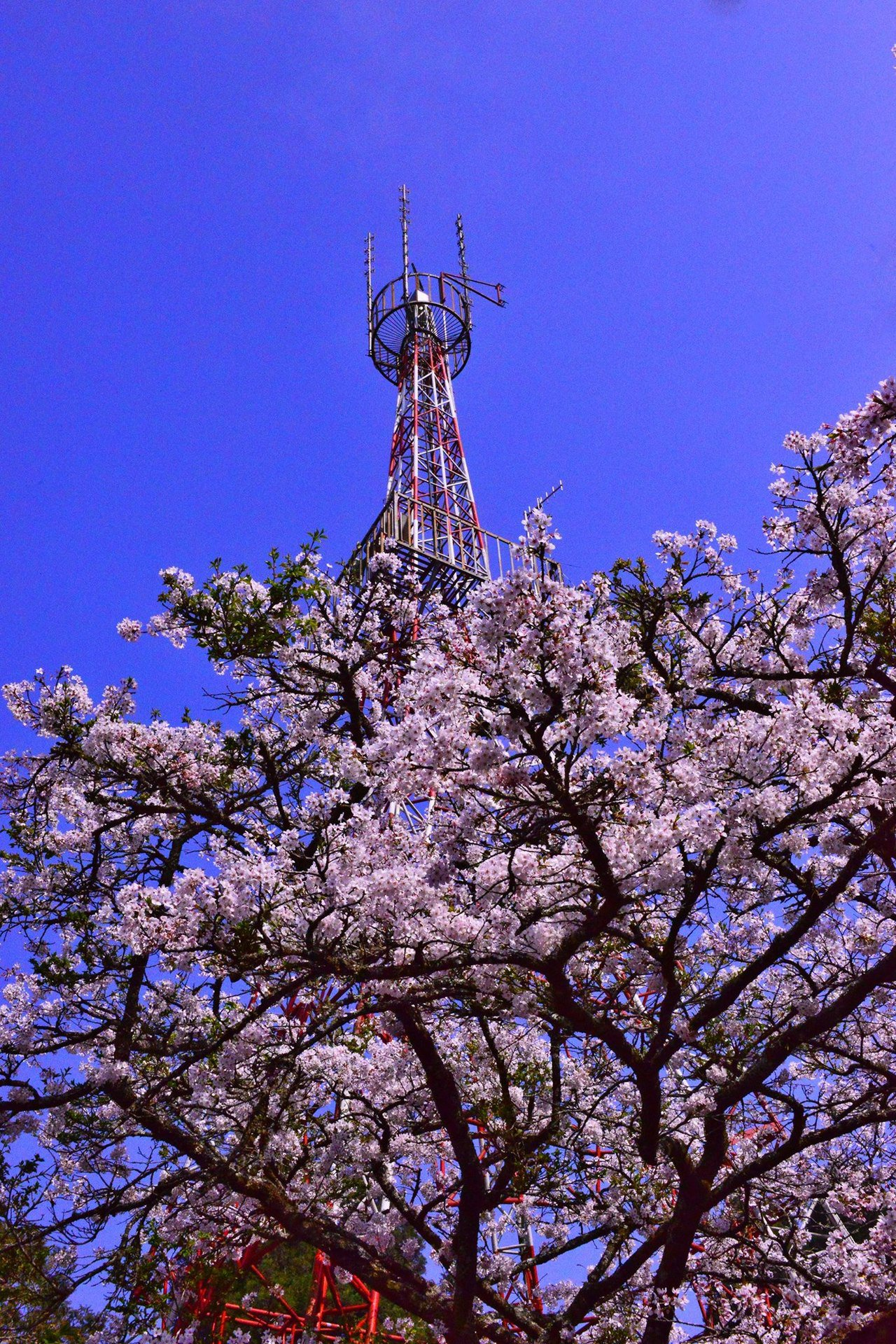 阿里山派出所前的櫻花。圖/翻攝自阿里山國家森林遊樂區粉絲團