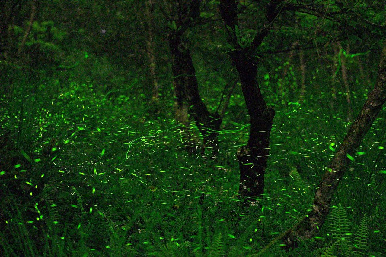 花蓮大農大富平地森林園區每年3至4月是賞螢最佳季節,成千上萬的夢幻光點在森林中飛...