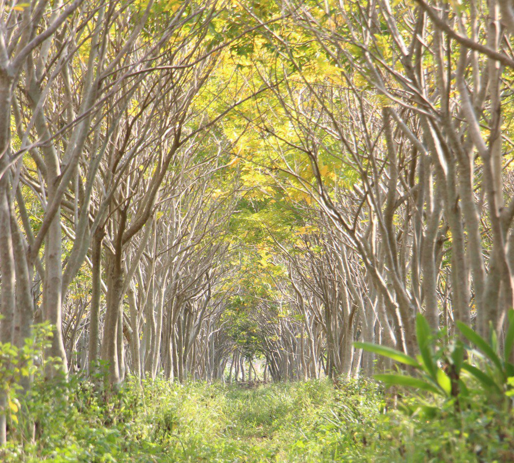 位在后里區與外埔區交界處,這片無患子樹林成為民眾新的打卡拍照地點。記者洪上元/攝...