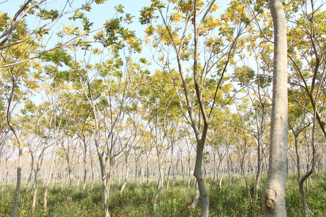 位在后里區與外埔區交界處的這片無患子樹林,成為民眾新的打卡拍照地點。記者洪上元/...