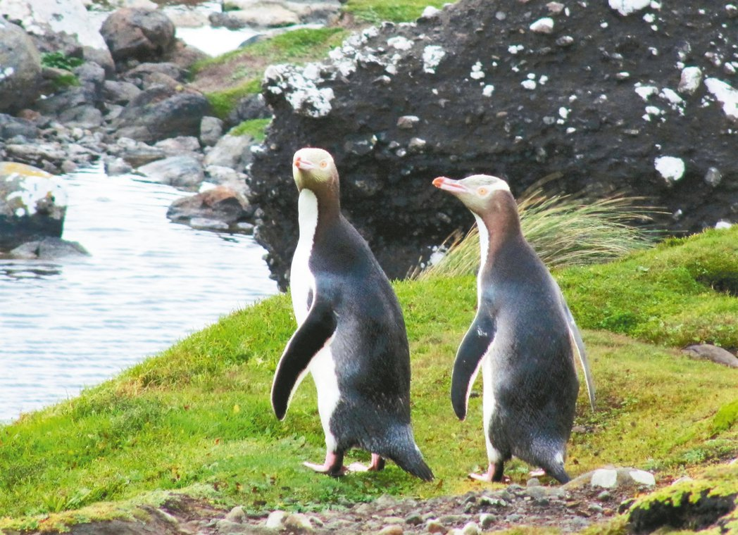 黃眼企鵝。 攝影/尹萍