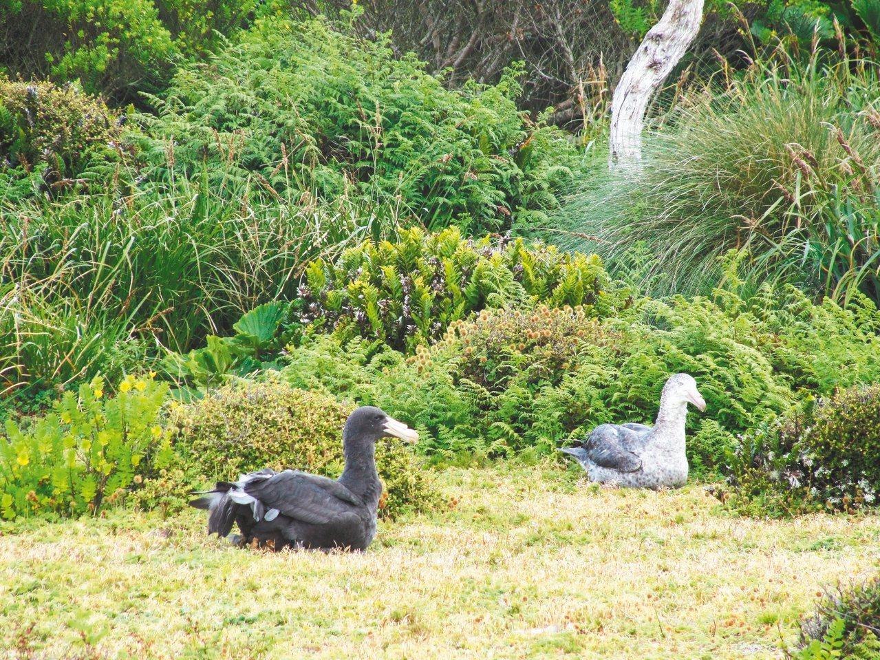北方巨海燕成鳥與亞成鳥。 攝影/尹萍