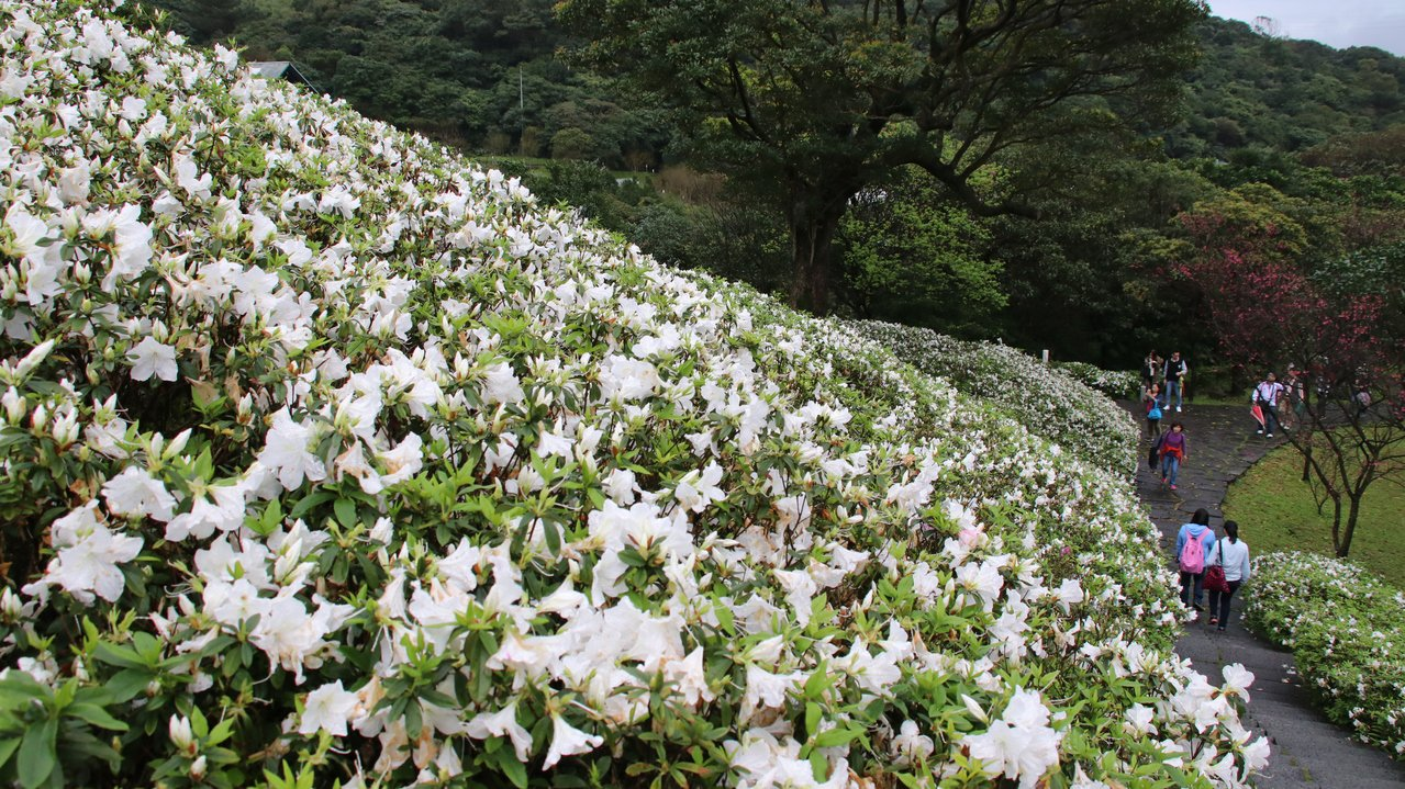 法鼓山祈願堂下的杜鵑花盛開,沿著祈願步道就能被純白花海圍繞。記者曾健祐/攝影