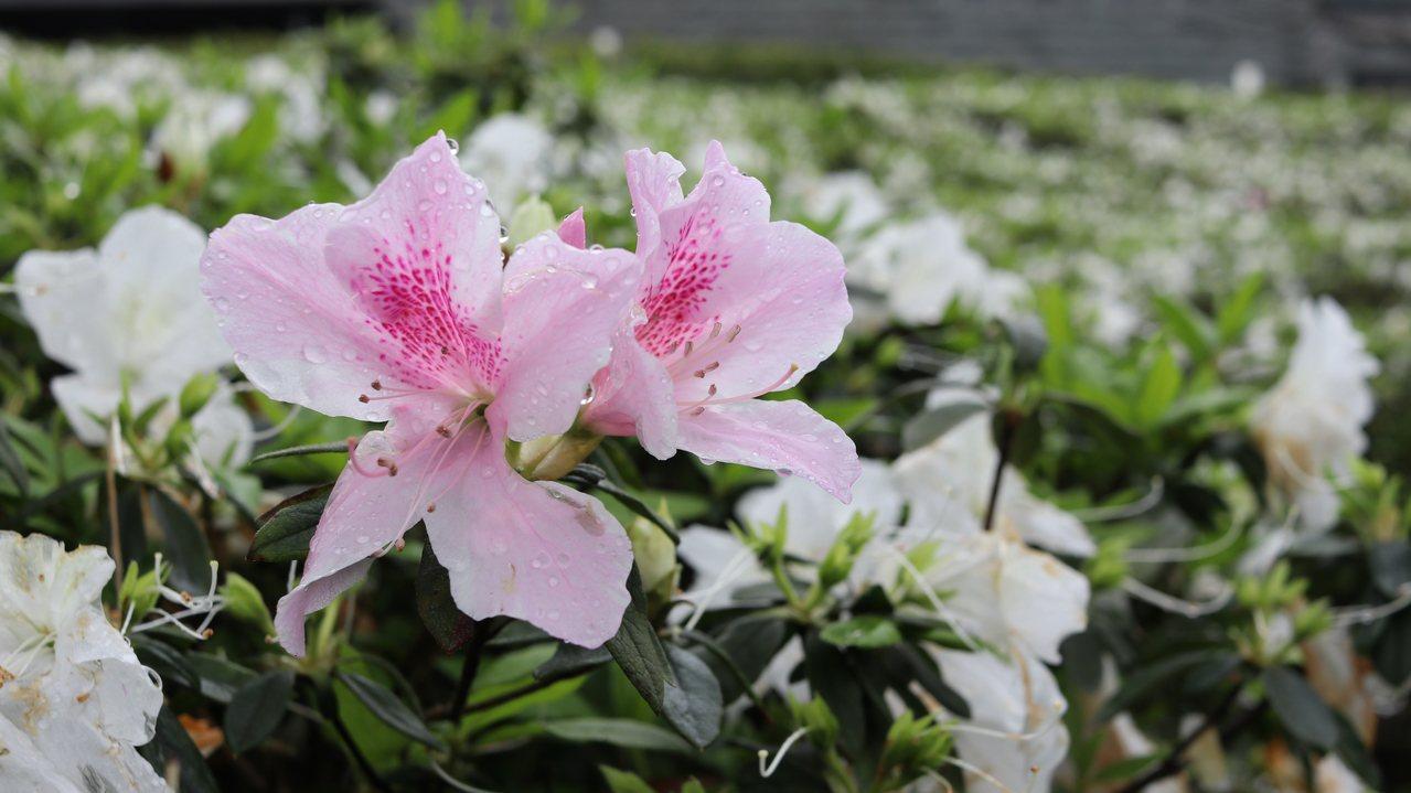 除了純白色,園區內還有粉紅、桃紅的杜鵑花。記者曾健祐/攝影
