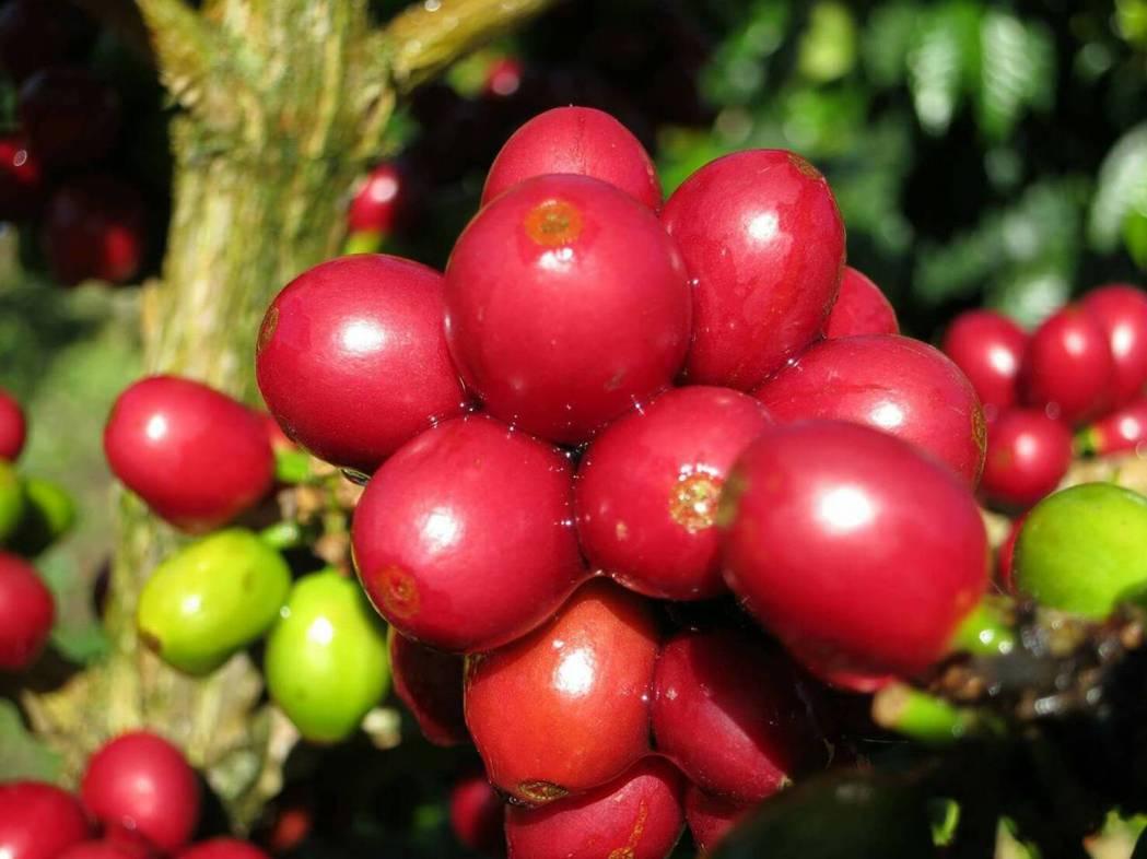 古坑咖啡已進入採收期尾聲,受到去年初寒害、颱風摧殘影響,咖啡農暗暗叫苦,古坑石壁...