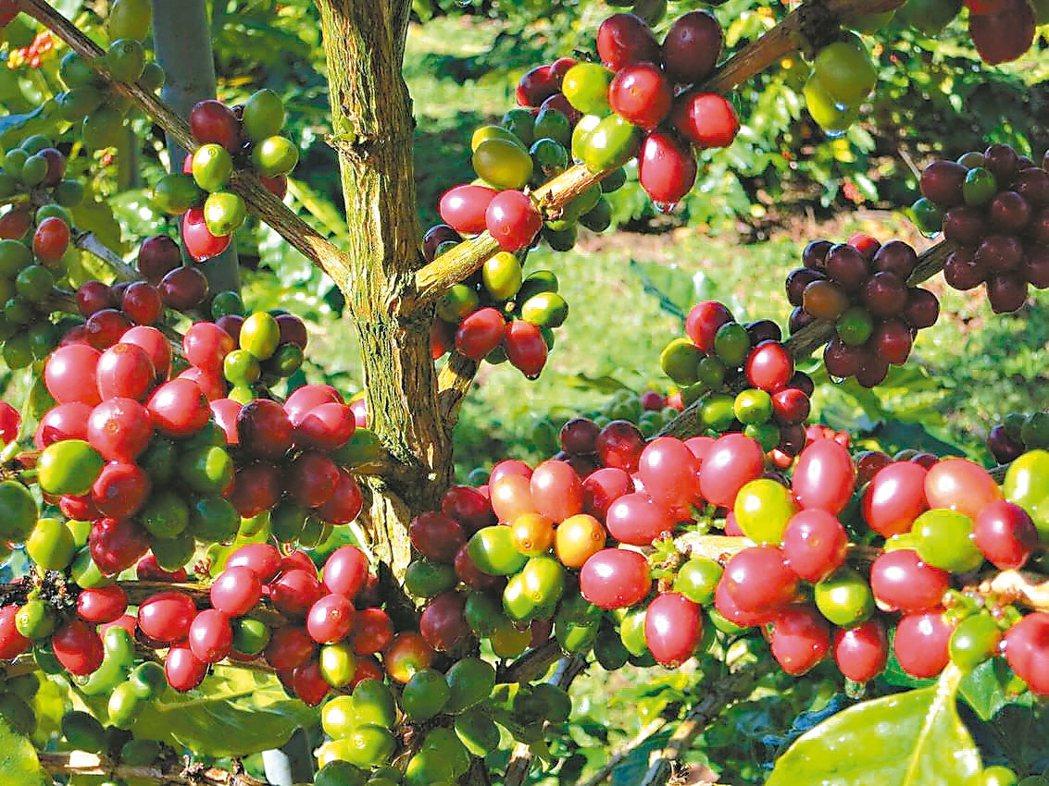 雲林古坑咖啡已進入採收期尾聲,受到去年寒害、颱風影響,咖啡缺貨。 記者胡瑋芳/攝...