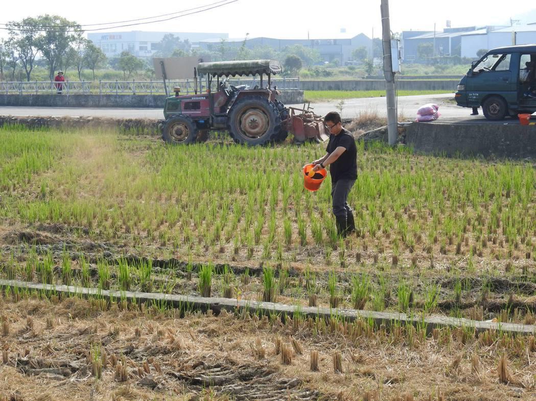 彰化農民撒分解腐化菌,幫助稻草快速腐化成肥份。 圖/彰化縣政府環保局提供