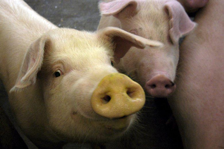 善心人士急著想救贖畜產動物,沒考慮到市場需求讓這些動物不斷無限繁殖,則護生園很快就會面臨爆滿的危機。 圖/歐新社