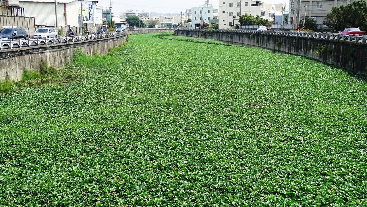 彰化市最近出現一條美麗的綠色廊道,仔細一看才知是布袋蓮舖成的大埔截水溝。記者何炯...