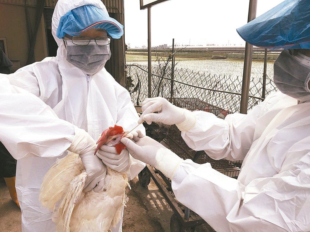 立法院預算中心指出,近4年來購置近4000萬元疫苗及試驗藥品,但超過九成九都沒有使用。圖為2月時防疫人員到禽場採樣送驗。 報系資料照