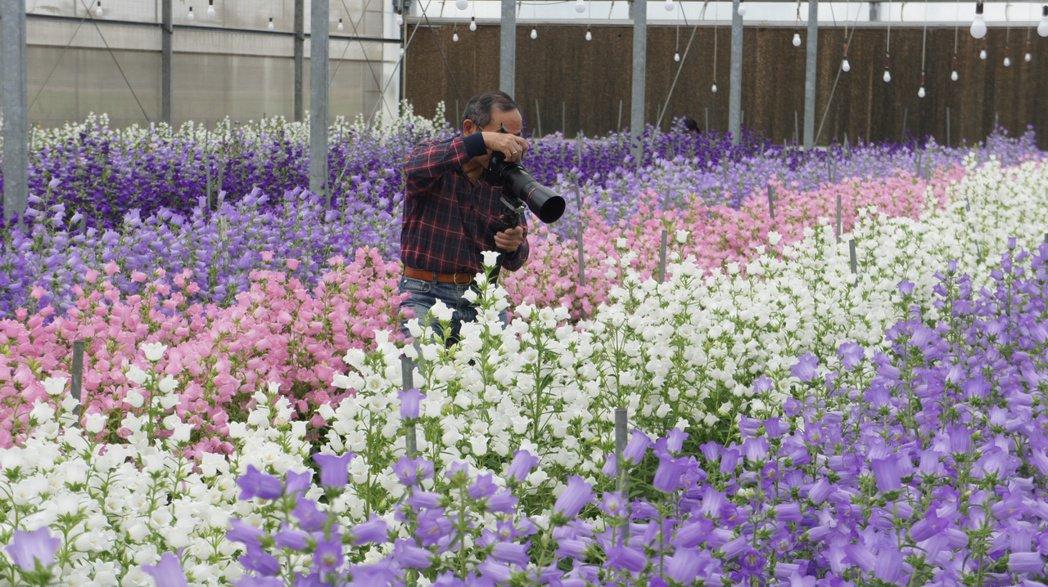 許多民眾慕名而來欣賞風鈴花,並拿起相機捕捉花朵風采。記者李京昇/攝影