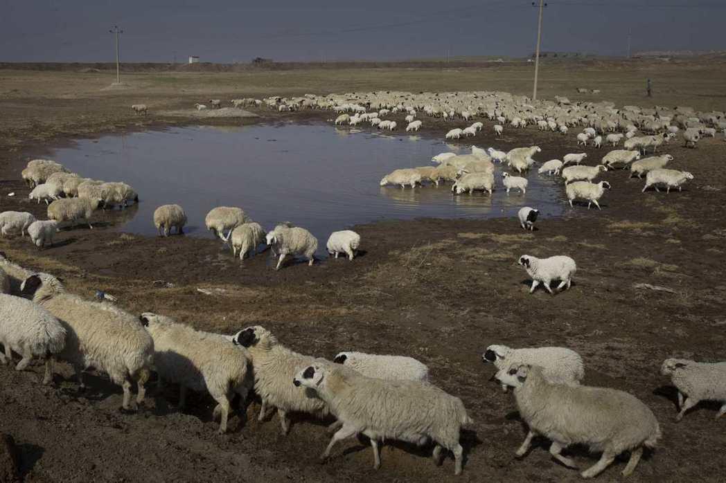 牧民們養的牛羊卻仍然只能喝被汙染的水,導致當地羊隻被城裡人戲稱為垃圾羊,價格也隨...
