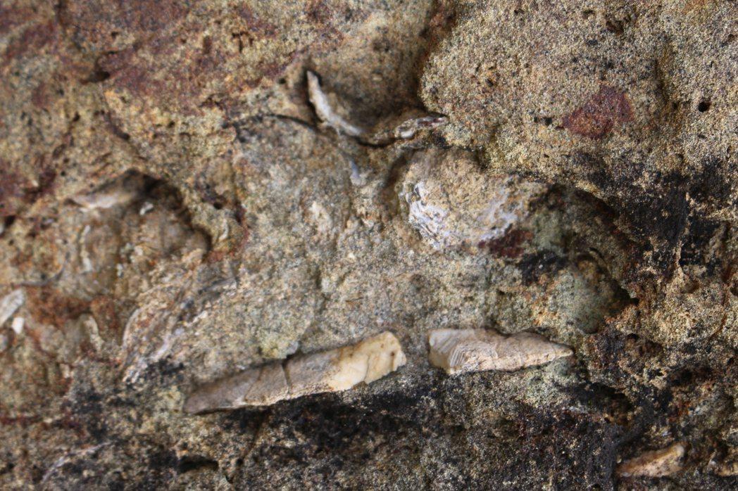 東眼山大型車停車場旁的兩顆大石頭,上頭有許多貝類、海膽等實體化石。 記者張雅婷/...