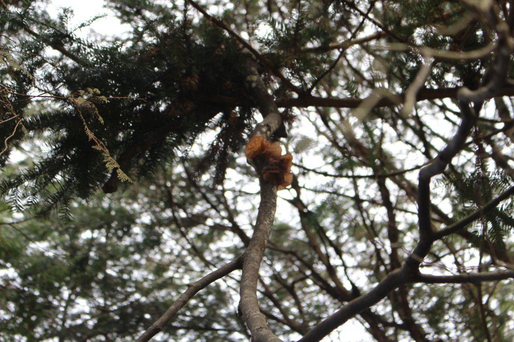 東眼山森林中,不時能發現枯木上長出天然的木耳。 記者張雅婷/攝影