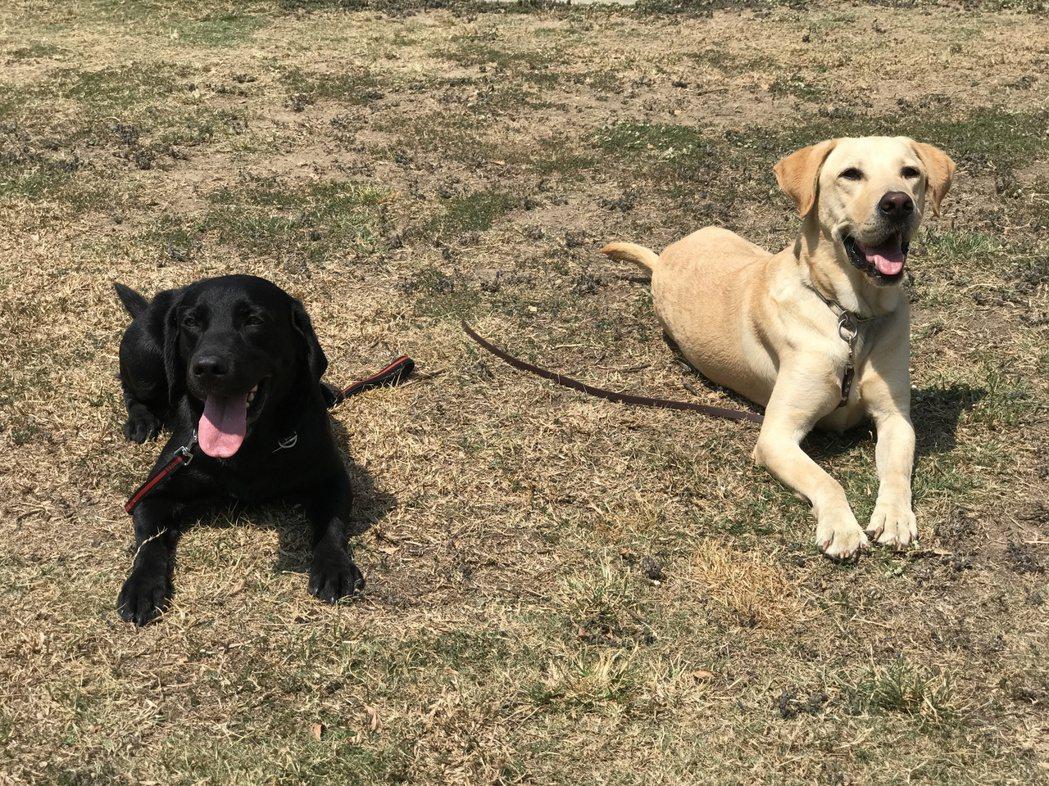 今年3月剛通過瓦礫堆搜索B級(高級)的搜救犬巧克力(左)與柯林。 記者劉星君/攝...