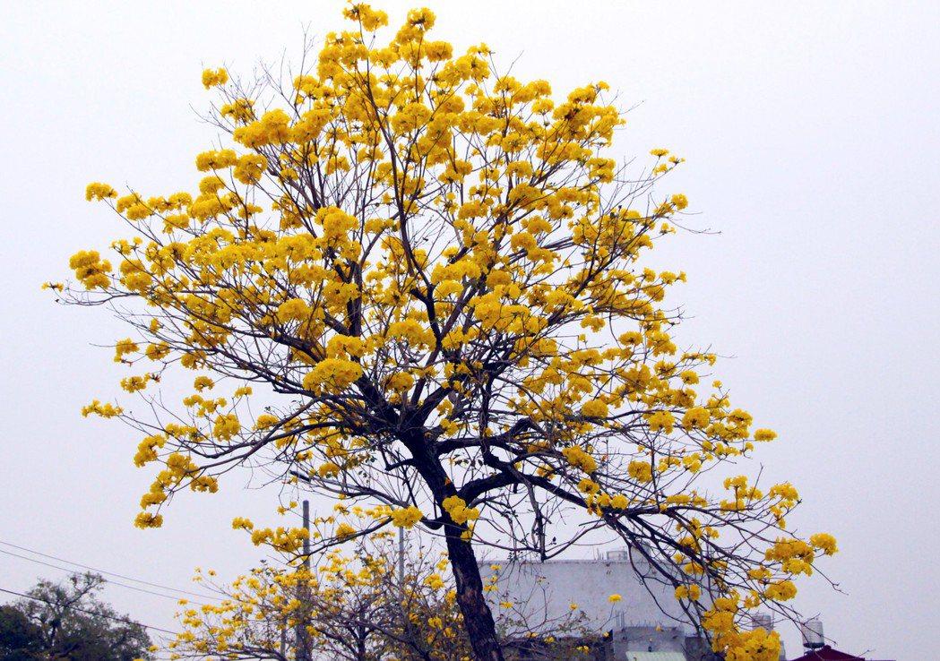 芬園鄉黃花風鈴木陸續盛開。記者林敬家/攝影