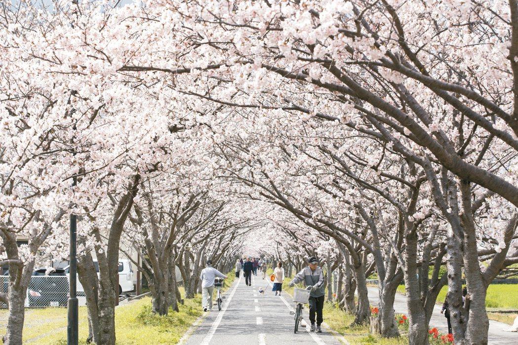 佐賀市的「徐福自行車車道」每年3月底開始,就正式進入櫻花季。 圖/佐賀市役所提供
