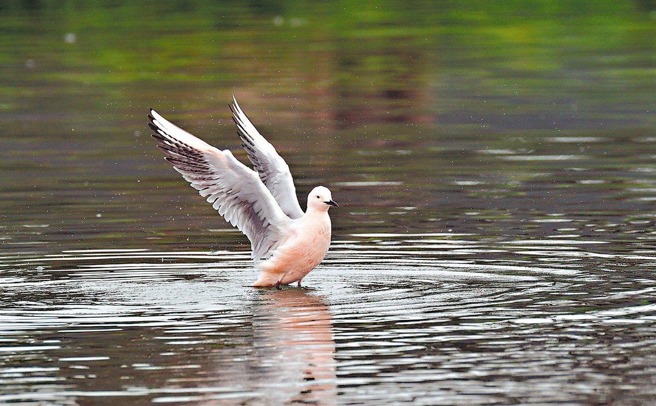 繼四年前嘉義布袋發現細嘴鷗蹤跡,台東鳥友日前在太平溪出海口發現一隻羽帶粉紅色澤鳥...